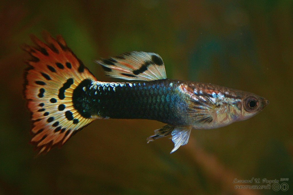 Can Betta Fish Live With Guppies Do S Don Ts Betta Care Fish Guide