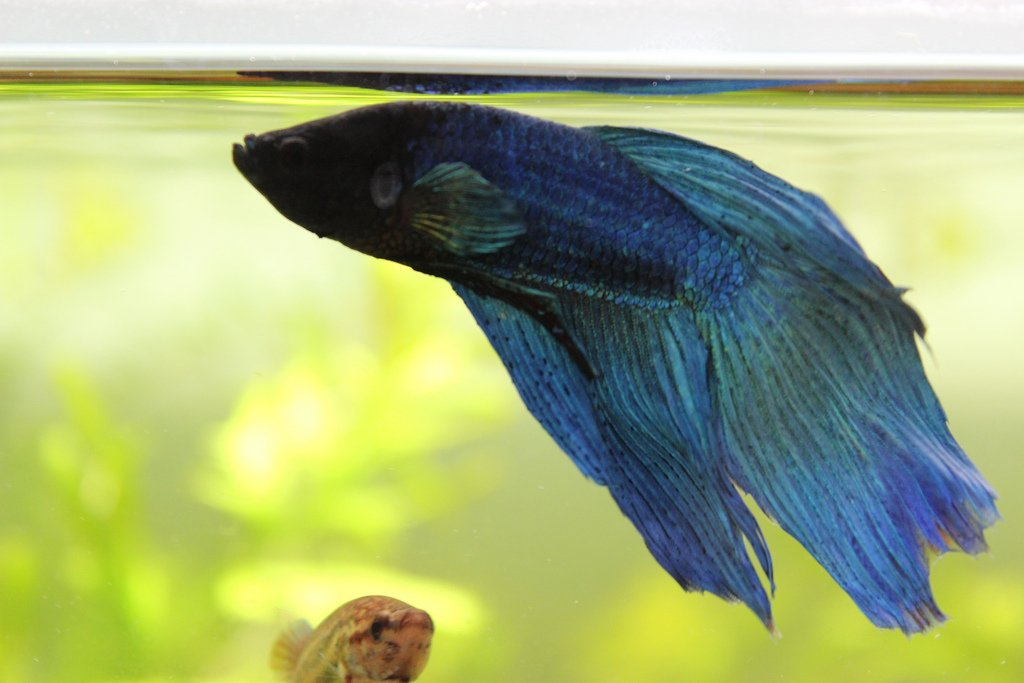 blue betta splenden
