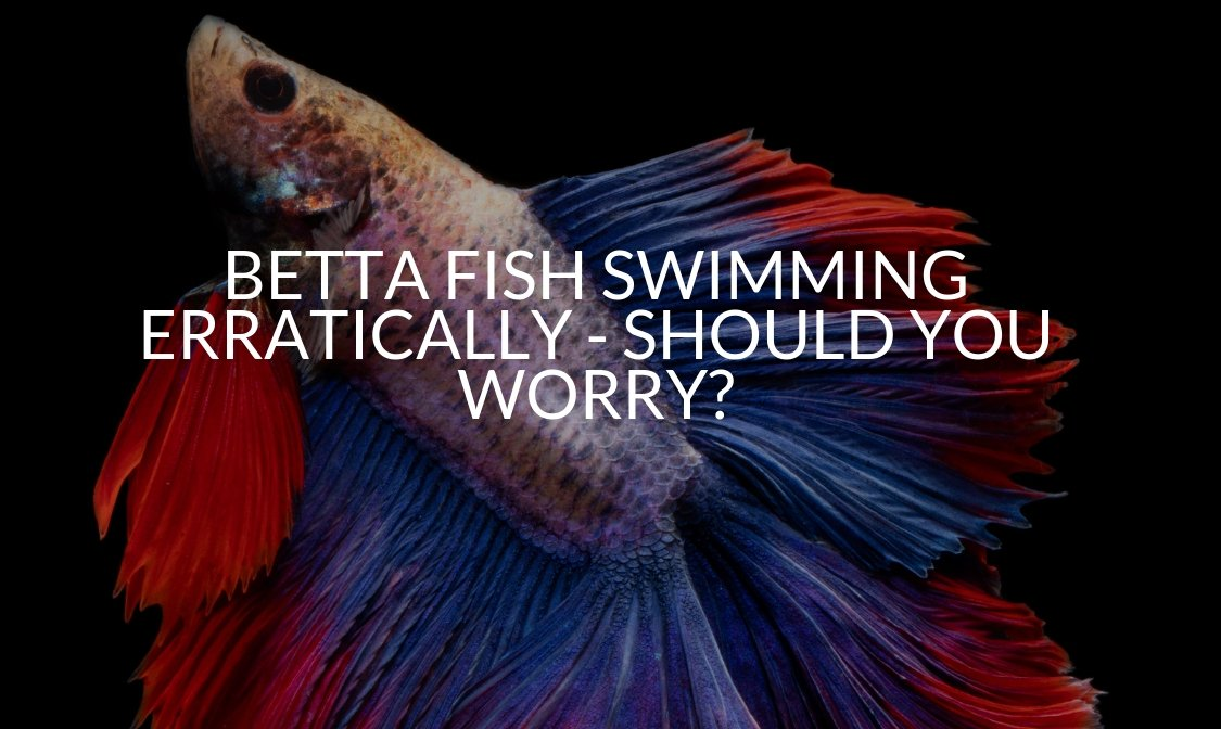 BETTA FISH SWIMMING ERRATICALLY - SHOULD YOU WORRY_