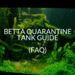 Betta Quarantine Tank Guide (FAQ)