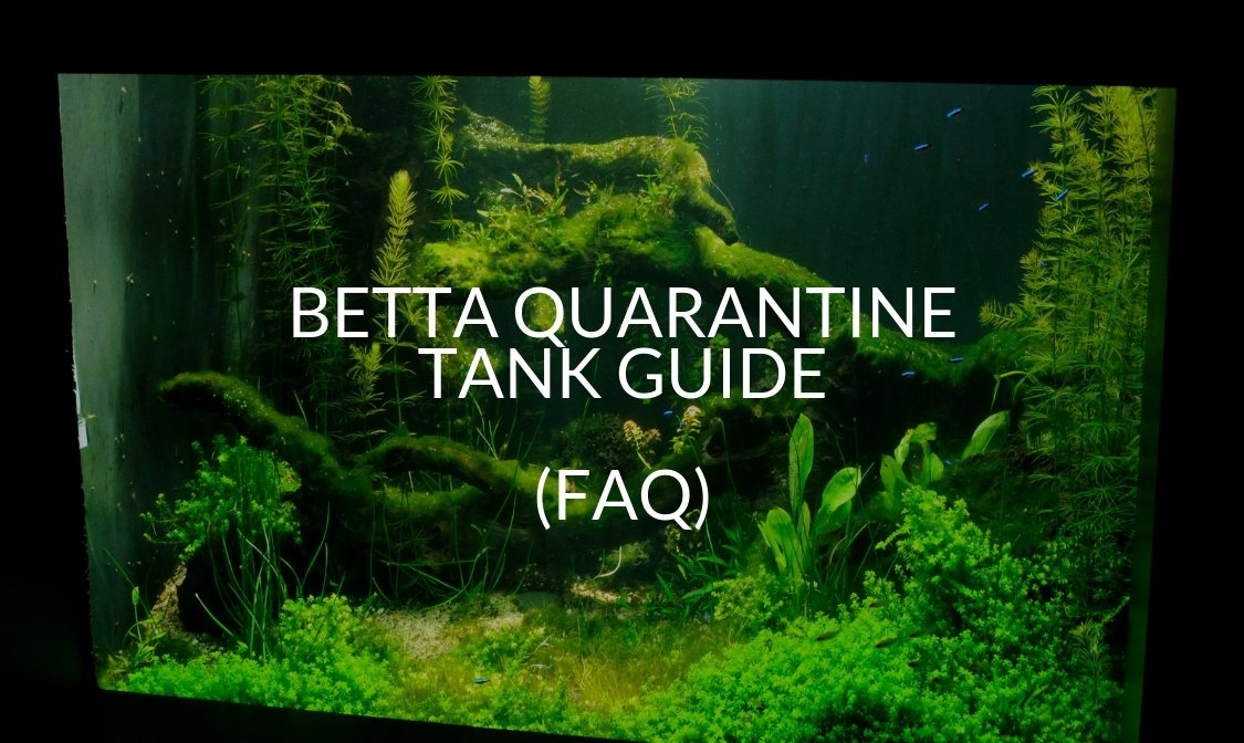Betta Quarantine Tank Guide