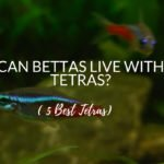 Can Bettas Live With Tetras? - 5 Best Tetras