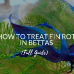 How To Treat Fin Rot In Bettas (Full Guide)