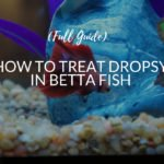 How To Treat Dropsy In Betta Fish (Complete Guide)