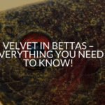 Velvet In Bettas - Everything You Need To Know!