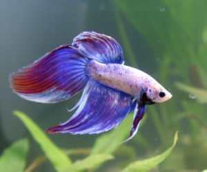 betta fish image 1