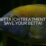 Betta Ich Treatment - Save Your Betta!
