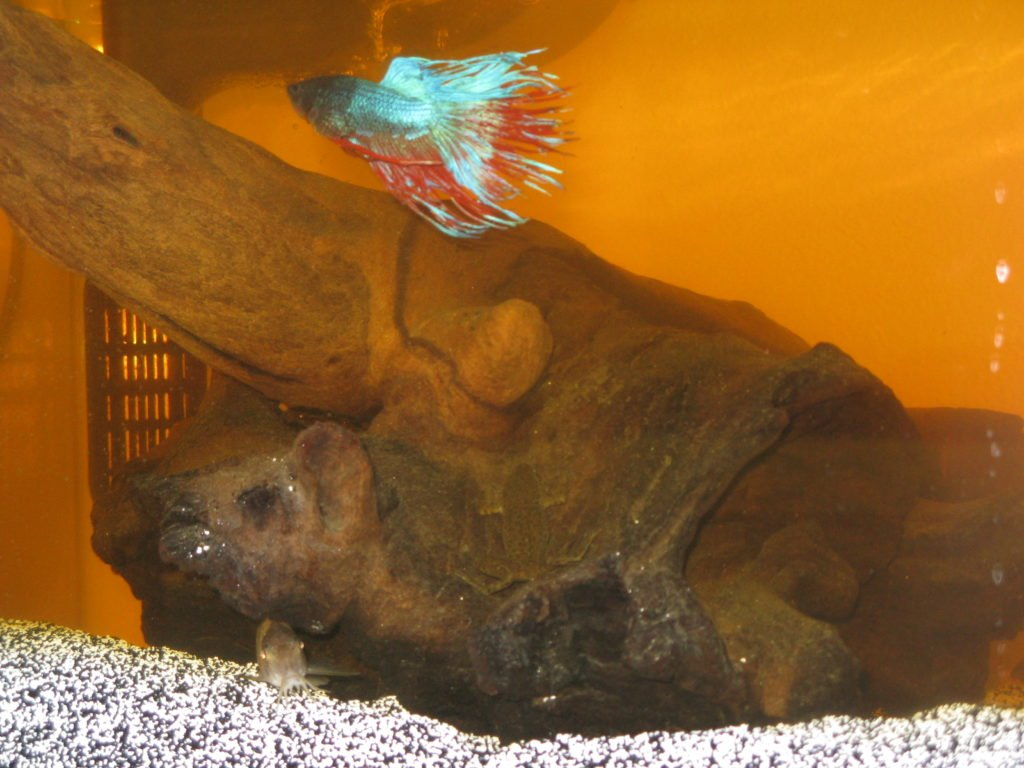 Bogwood_Betta