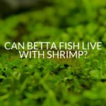 Can Betta Fish Live With Shrimp_