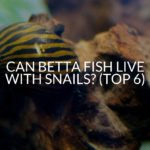 Can Betta Fish Live With Snails? (Top 6)