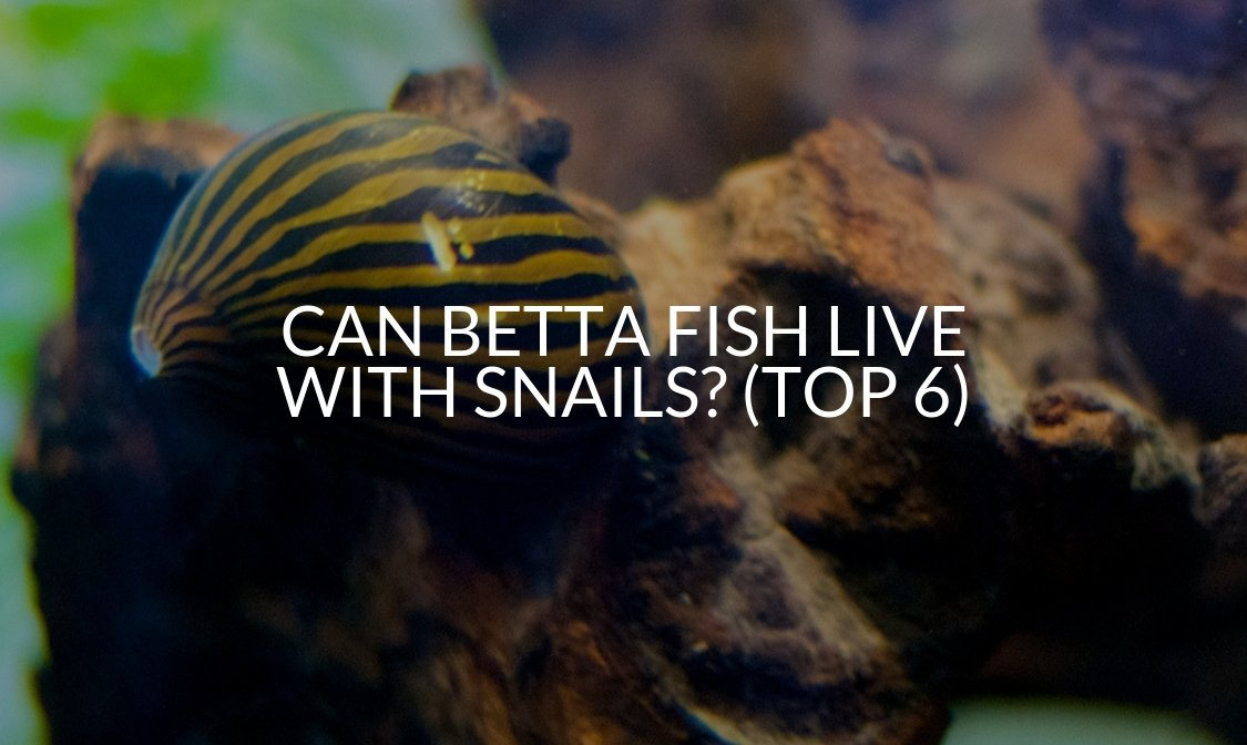 Can Betta Fish Live With Snails (Top 6)