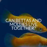 Can Bettas And Mollies Live Together?