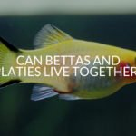 Can Bettas And Platies Live Together?