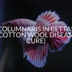 Columnaris In Bettas (Cotton Wool Disease Cure)