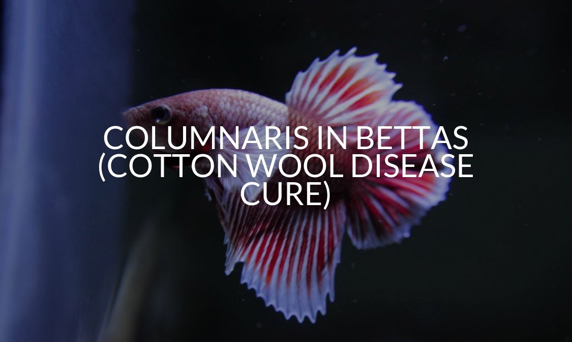Columnaris In Bettas (Cotton Wool Disease Cure)