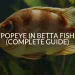 Popeye In Betta Fish (Causes, Treatment, Prevention)