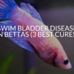 Swim Bladder Disease In Bettas (3 Best Cures)
