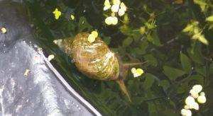 pond-snail