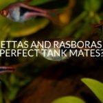 Bettas And Rasboras – Perfect Tank Mates_
