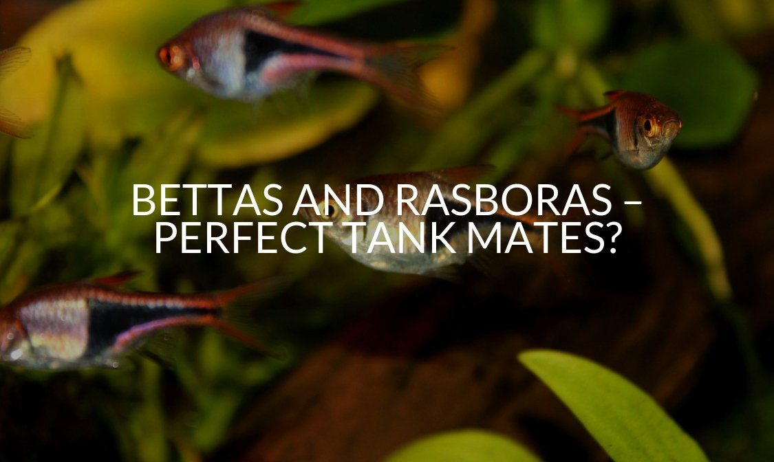 Bettas And Rasboras – Perfect Tank Mates_