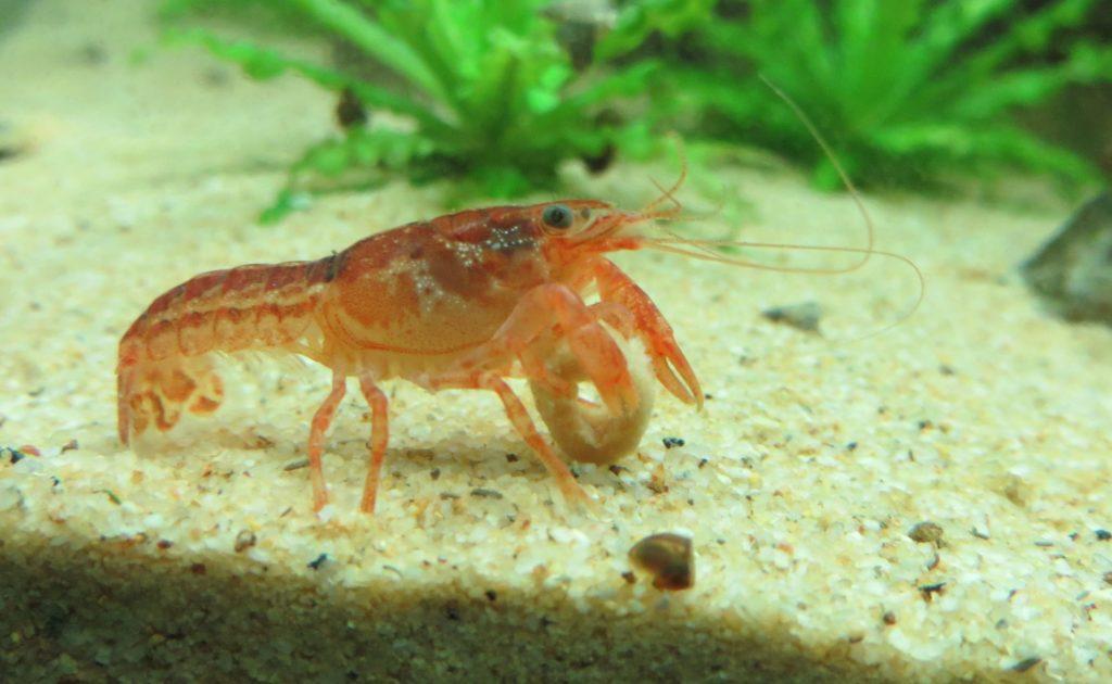 Dwarf Crayfish 3