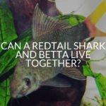 Can A Redtail Shark And Betta Live Together?