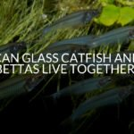 Can Glass Catfish And Bettas Live Together?