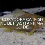 Corydora Catfish And Bettas (Tank Mate Guide)