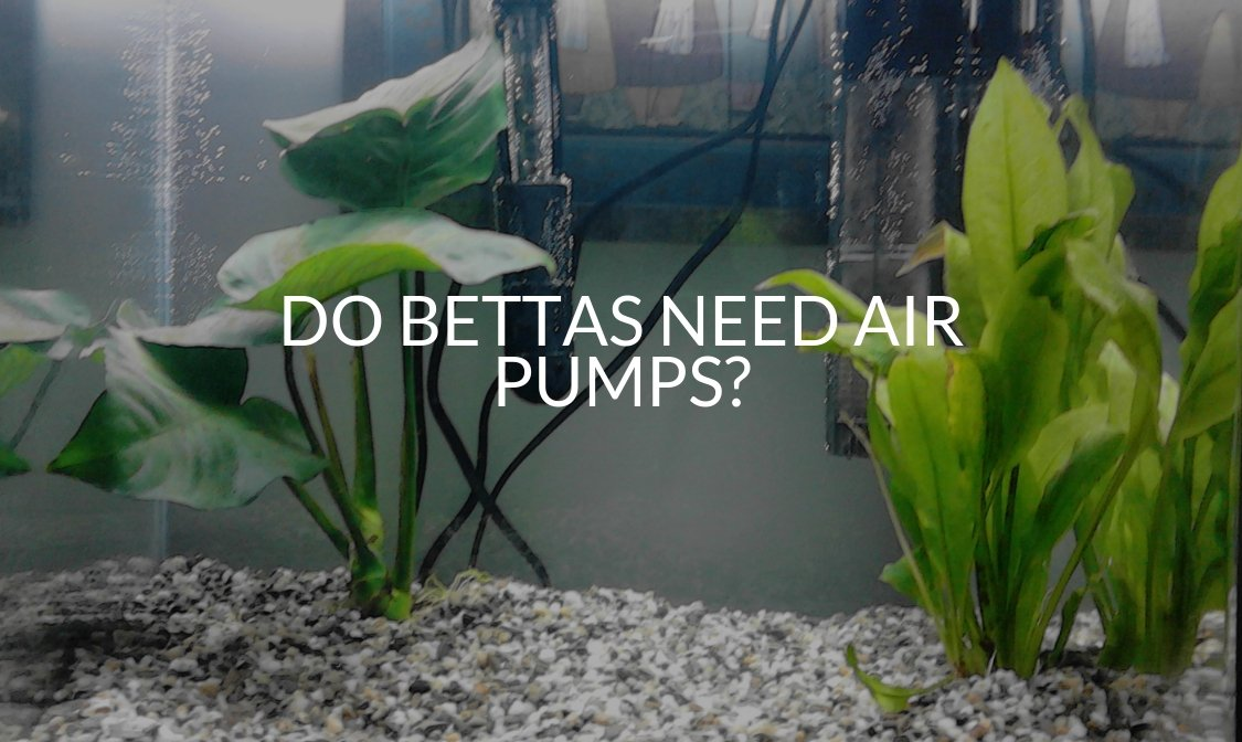Do Bettas Need Air Pumps?