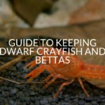 Guide To Keeping Dwarf Crayfish And Bettas