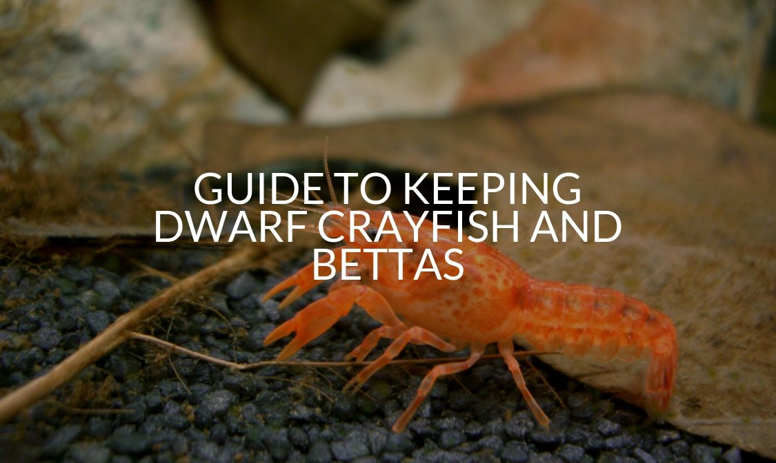 Guide To Keeping Dwarf Crayfish And Bettas - Betta Care Fish
