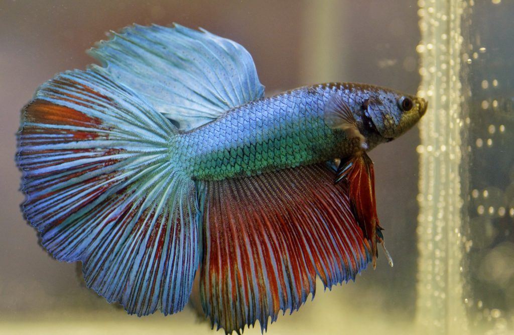 Ideal Ph Level For Betta Fish And How To Get It Betta Care Fish Guide
