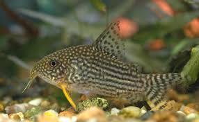 Corydora Catfish 1