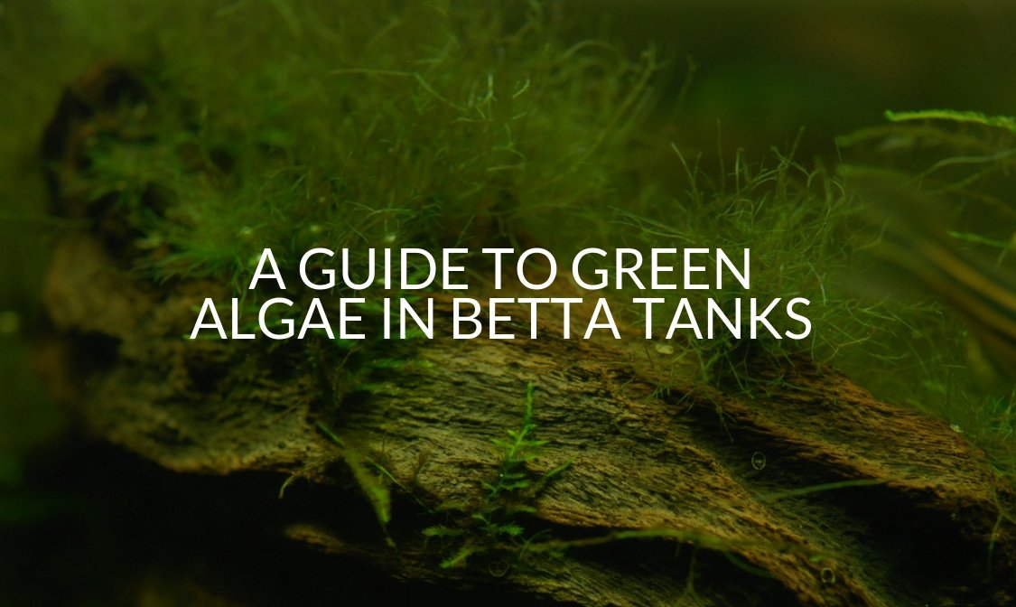 A Guide To Green Algae In Betta Tanks