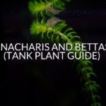 Anacharis And Bettas (Tank Plant Guide)