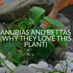 Anubias And Bettas (Why They Love This Plant)