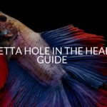 Betta Hole In The Head Guide