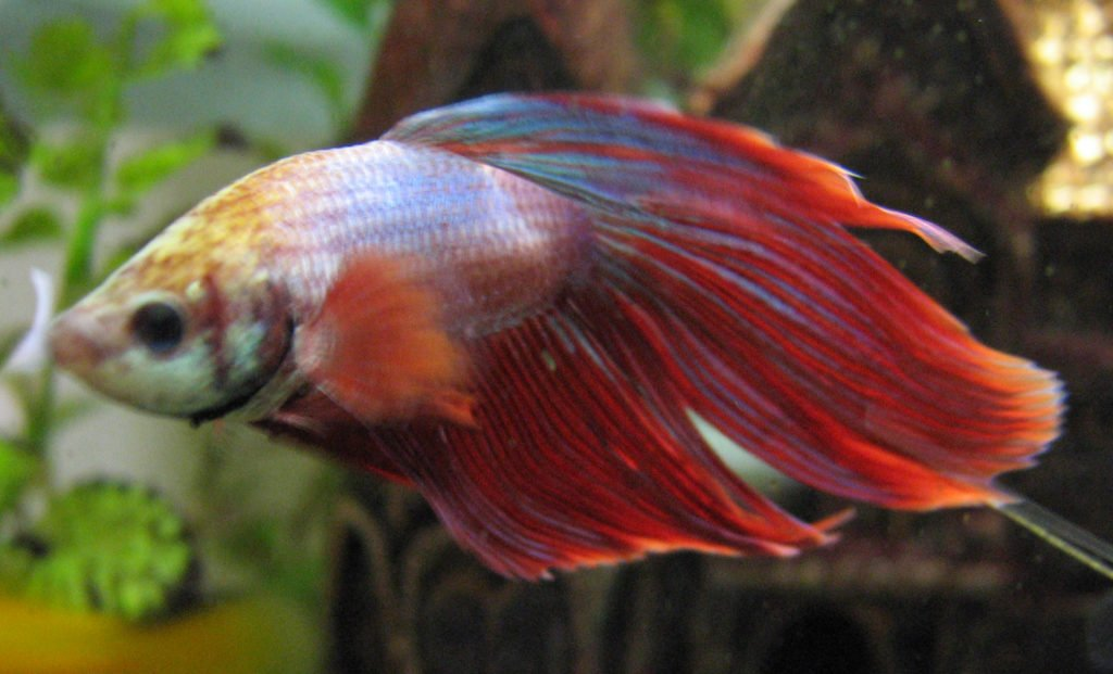 red and blue betta fish