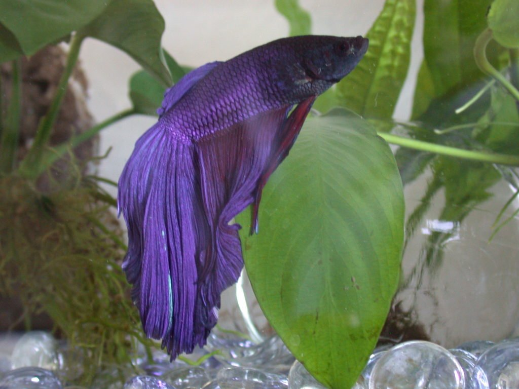 Blue_betta_fish_super_delta