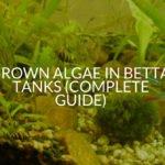 Brown Algae In Betta Tanks (Complete Guide)