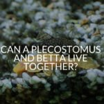 Can A Plecostomus And Betta Live Together?
