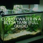 Cloudy Water In a Betta Tank (Full Guide)