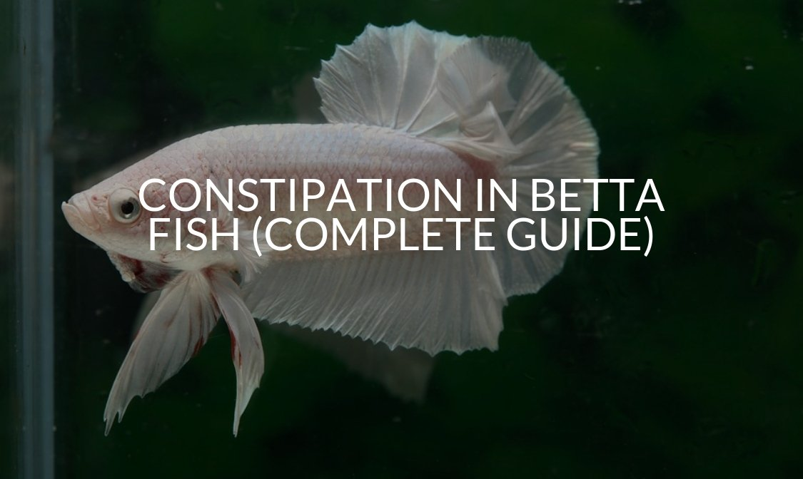 Constipation In Betta Fish (Complete Guide)