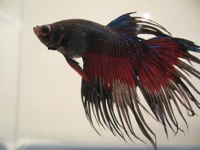 black and red betta