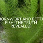 Hornwort And Betta Fish (The Truth Revealed)