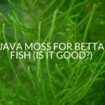 Java Moss For Betta Fish (Is It Good?)