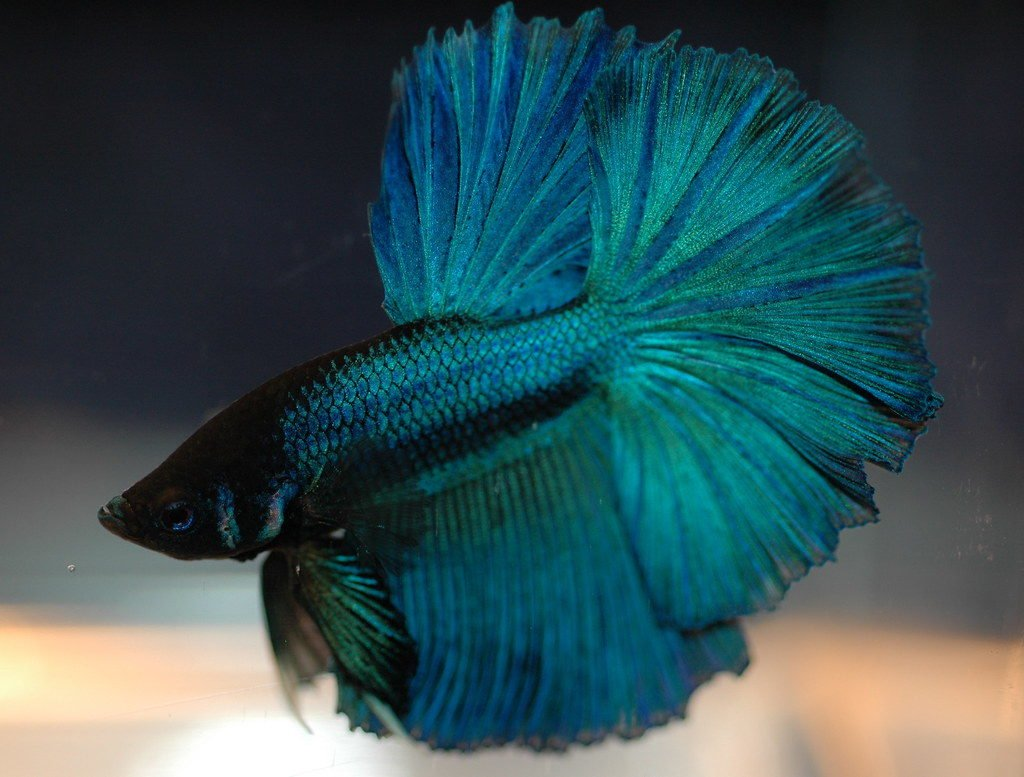 Stressed Betta Fish Guide (Symptoms, Causes, Treatments) - Betta