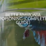 Betta Ammonia Poisoning (Complete Guide)