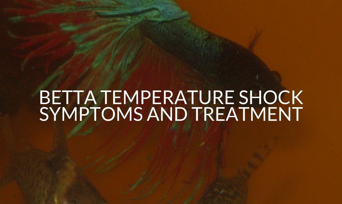Betta Temperature Shock Symptoms And Treatment