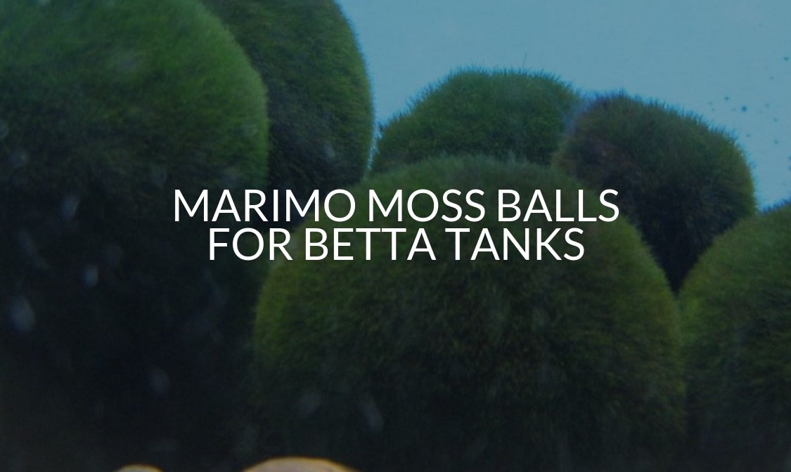 Marimo Moss Balls For Betta Tanks